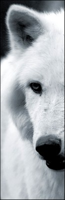 Enfants de La lune : Meute du Nord Loup_a11