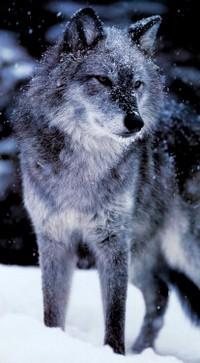 Enfants de La lune : Meute du Nord Loup_a12