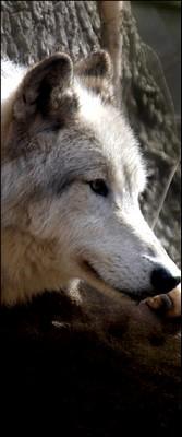 Enfants de La lune : Meute du Nord Loup_i10