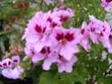 pelargonium robaeus à identifier (3 de trouvés) Bobett12