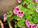 pelargonium robaeus à identifier (3 de trouvés) Bobett13