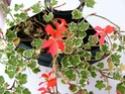 pelargonium robaeus à identifier (3 de trouvés) Bobett14