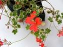 pelargonium robaeus à identifier (3 de trouvés) Bobett15
