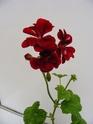 pelargonium robaeus à identifier (3 de trouvés) Bobett17