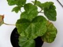 pelargonium robaeus à identifier (3 de trouvés) Bobett18