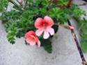 pelargonium robaeus à identifier (3 de trouvés) Bobett19