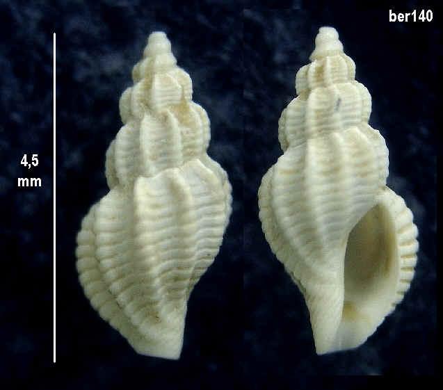 miocene de touraine Ber14010
