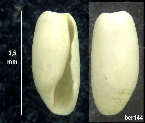 miocene de touraine Ber14410