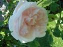 rosiers Dsc01018