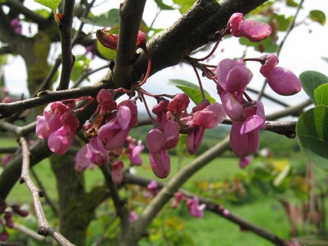 Fleurs d'arbre de Judée - Cercis siliquastrum Img_0011