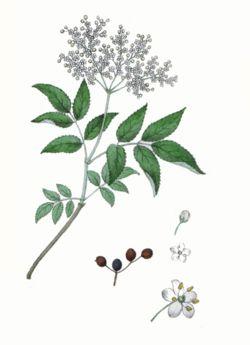 Sureau noir, Sambucus nigra 250px-10
