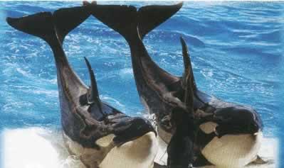 Orque tué dans le détroit de Gibraltar Kj10