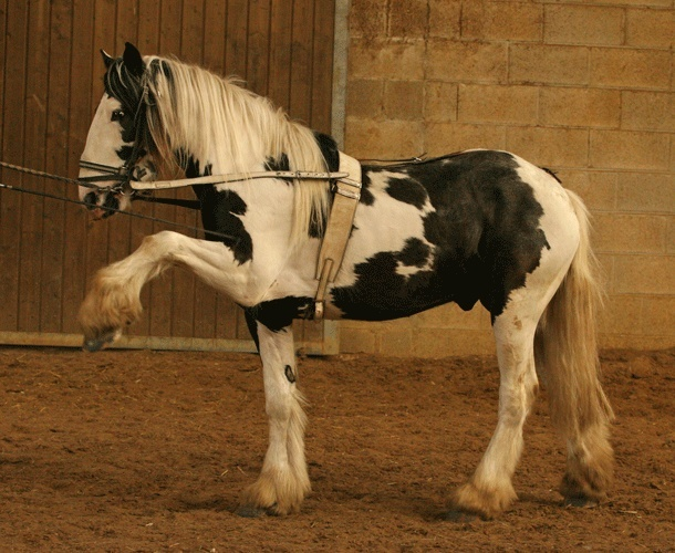 PAIRCUI, étalon drum Horse Img_2014