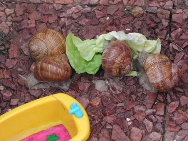 Elever des escargots... Dscn5510