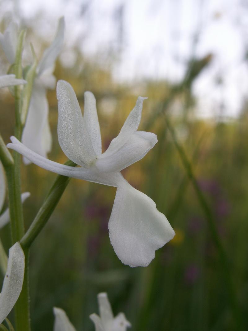 Anacamptis laxiflora ( Orchis à fleurs lâches ) Pict0311