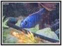 cichlidès du malawi (éric) Friery10