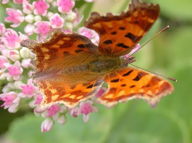 Papillon Gamma11