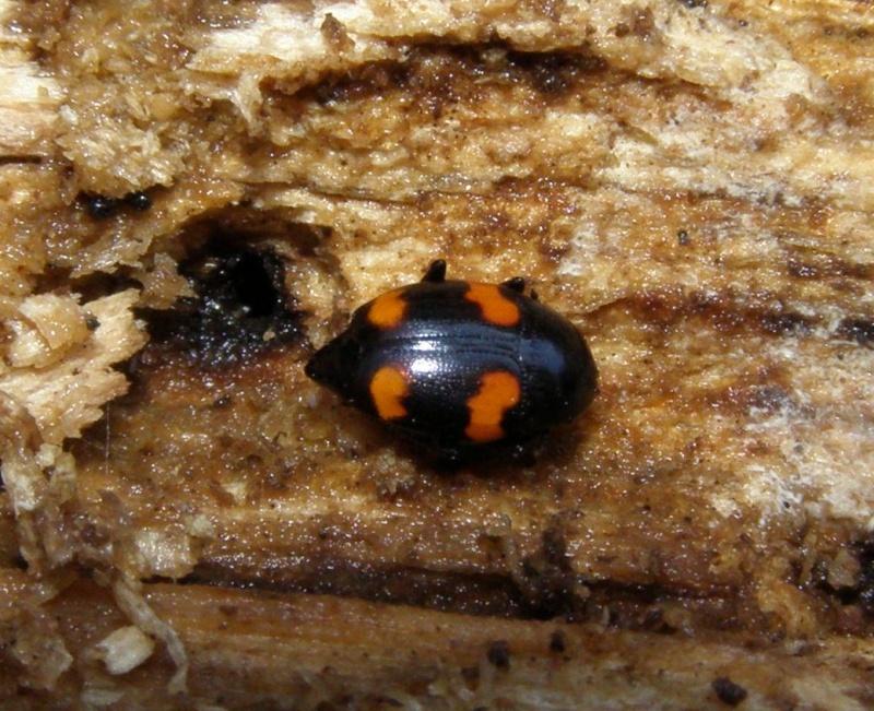 [Scaphidium quadrimaculatum]Mini coléo du bois rouge et noir Cr_31110