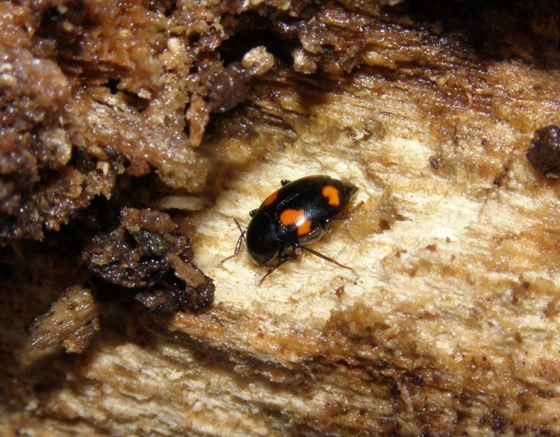 [Scaphidium quadrimaculatum]Mini coléo du bois rouge et noir Cr_31111