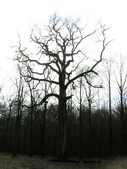 le chêne Cuif Chene_10
