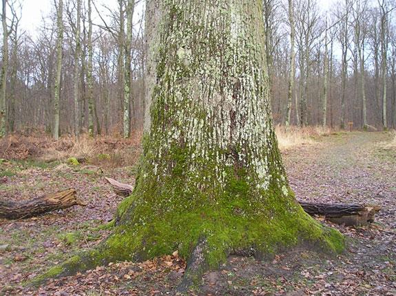 le chêne Cuif Tronc_10