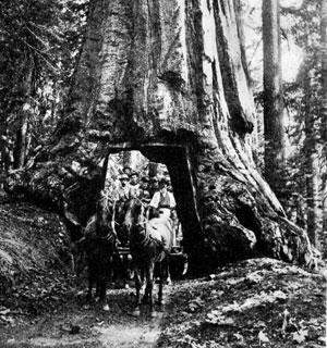 Sequoia géant Général Sherman USA Wawona10