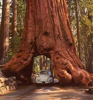 Sequoia géant Général Sherman USA Wawona11