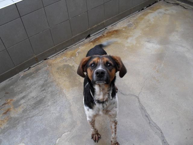 ALTO, croisé beagle/épagneul mâle, 1 an (80) Sdc10099