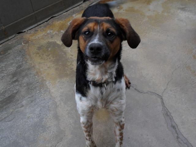 ALTO, croisé beagle/épagneul mâle, 1 an (80) Sdc10100
