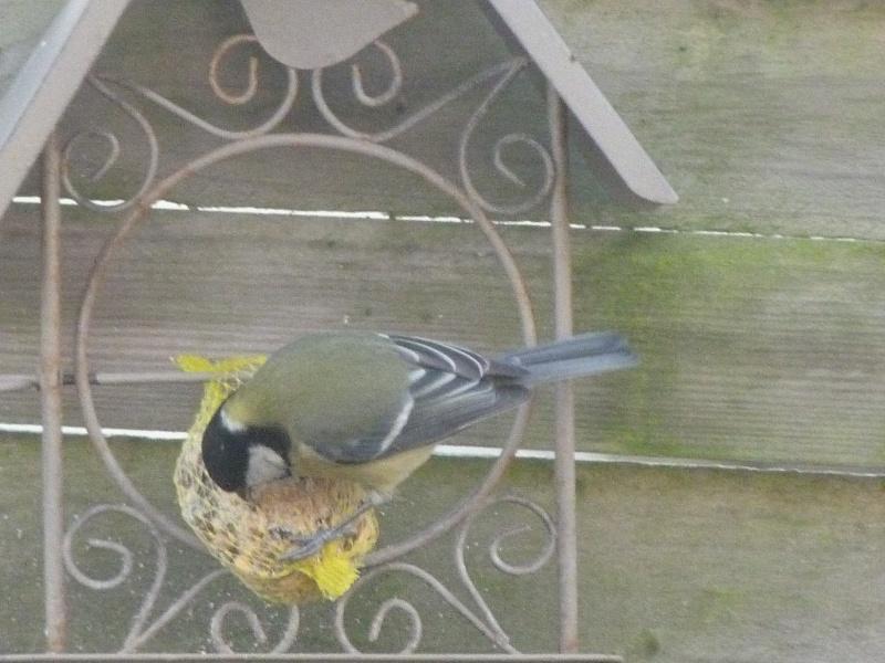 le self service des oiseaux au jardin P1220115
