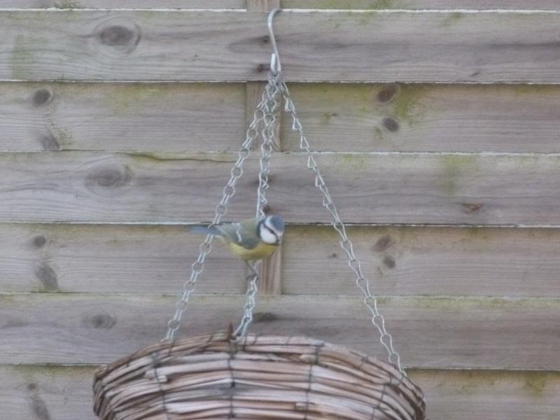 le self service des oiseaux au jardin P1220116