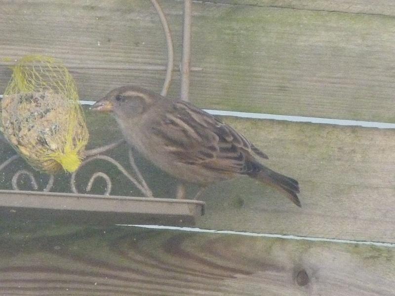 le self service des oiseaux au jardin P1220313