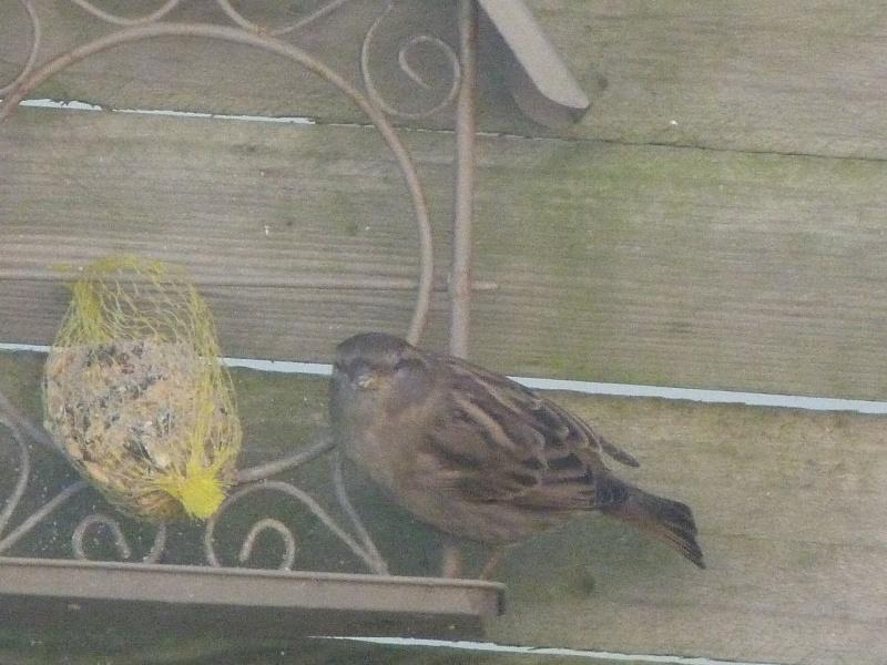 le self service des oiseaux au jardin P1220314