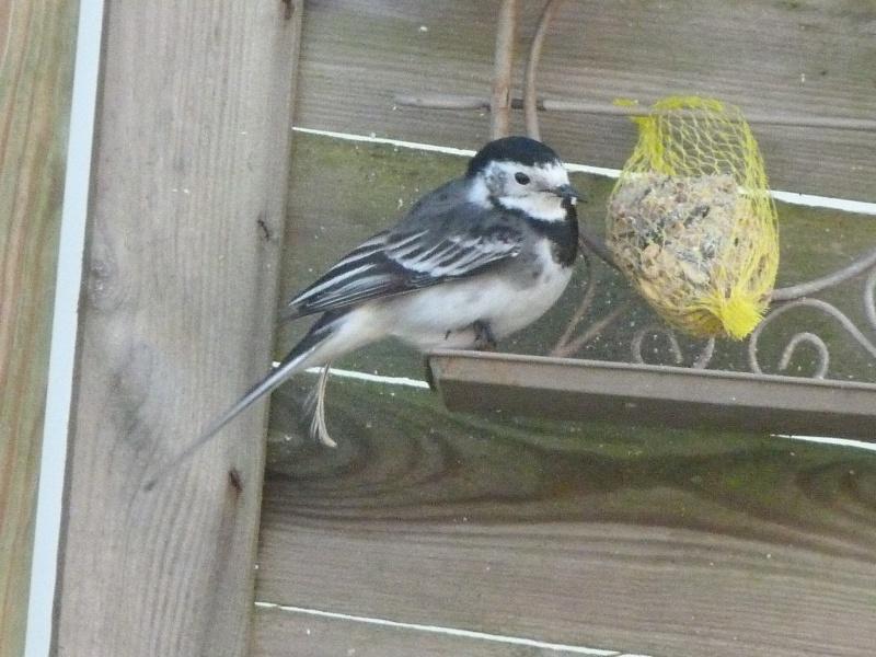 le self service des oiseaux au jardin P1220317
