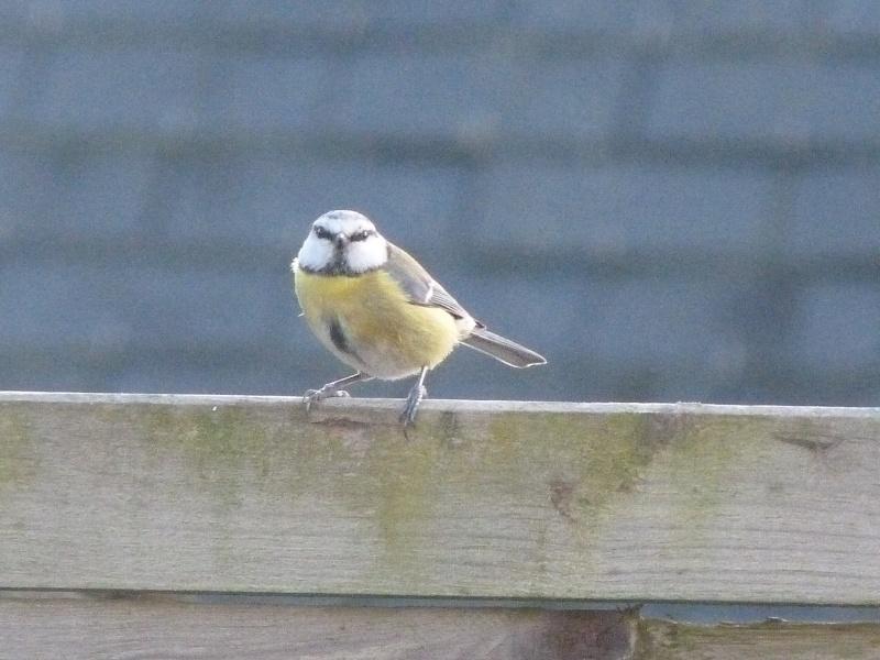 le self service des oiseaux au jardin P1220318
