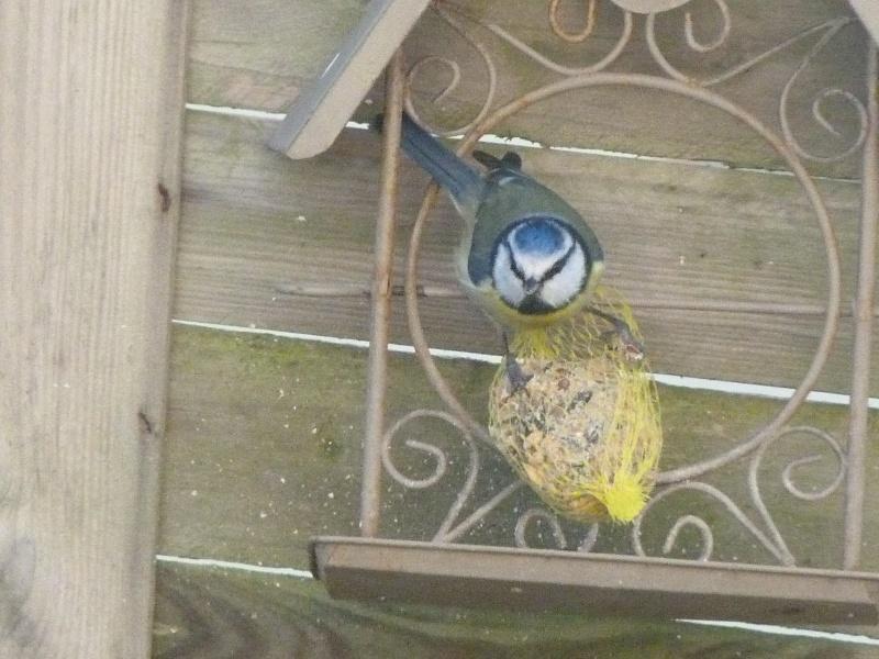 le self service des oiseaux au jardin P1220319