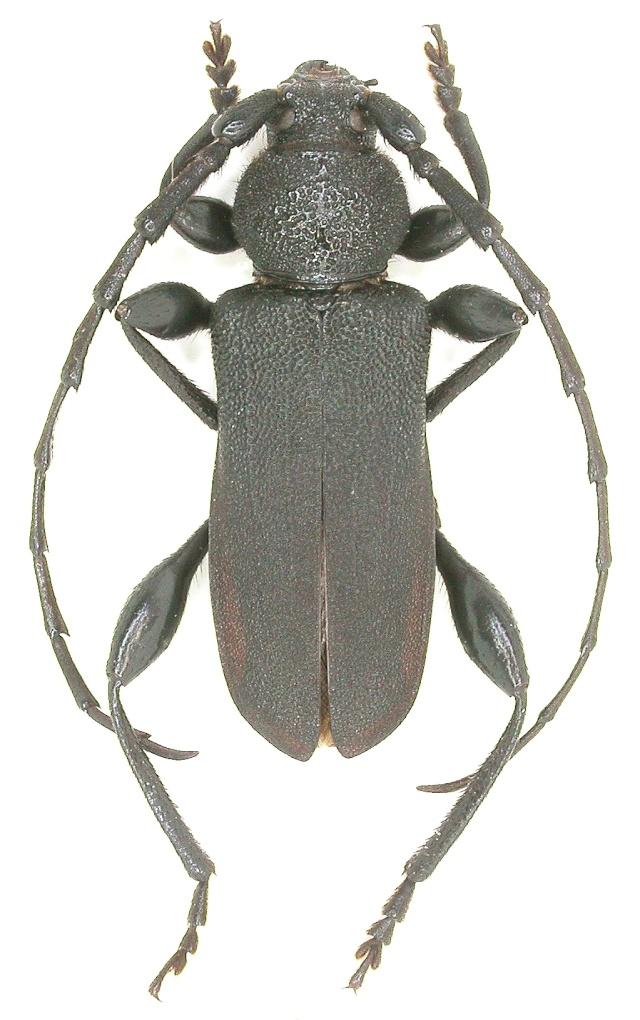 Ropalopus clavipes F-48 Dscn0610