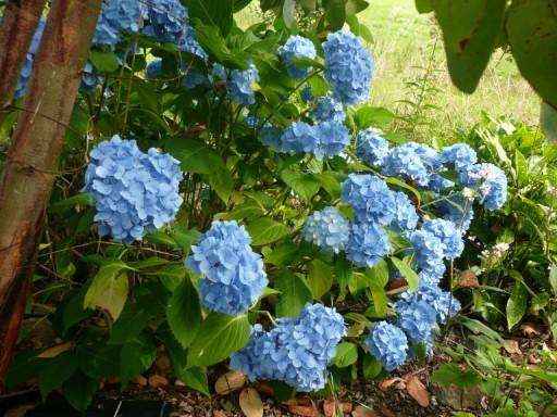 des hortensias bien bleus P1030413