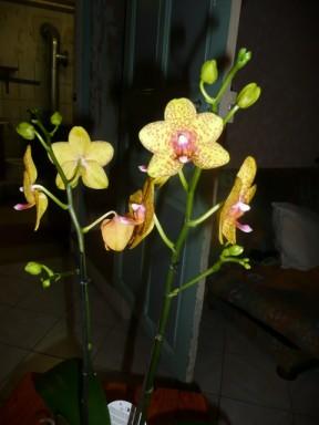 les soldes chez les orchidées P1040219