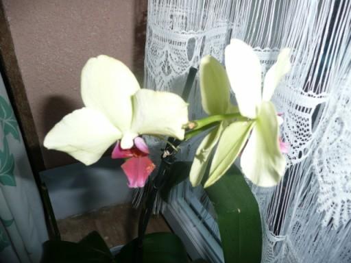 les soldes chez les orchidées P1040222