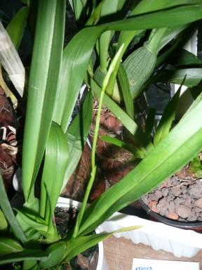 les soldes chez les orchidées P1040226
