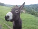Mini mule Papa_v13