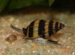 Les différents escargots rencontrés en aquariophilie 210