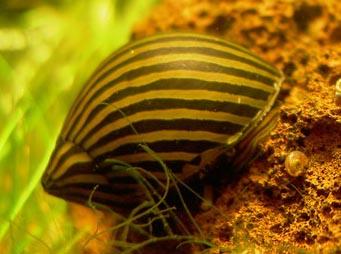 Les différents escargots rencontrés en aquariophilie 310