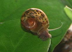 Les différents escargots rencontrés en aquariophilie Escarg10