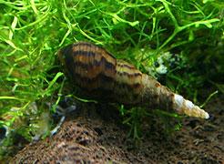 Les différents escargots rencontrés en aquariophilie Escarg12