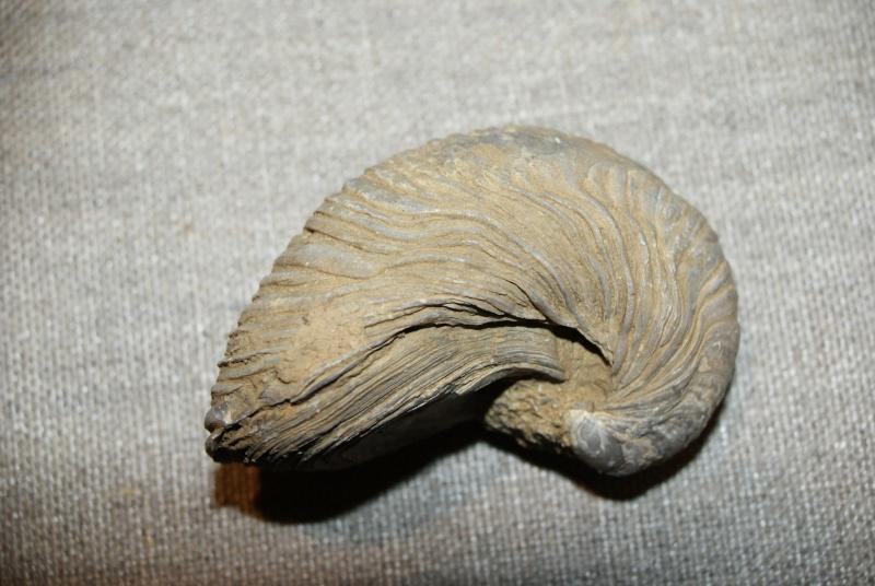 Gryphaea arcuata - LAMARCK, 1801 Grypha10