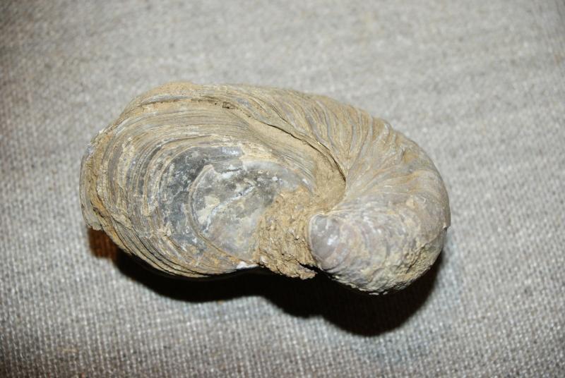 Gryphaea arcuata - LAMARCK, 1801 Grypha11