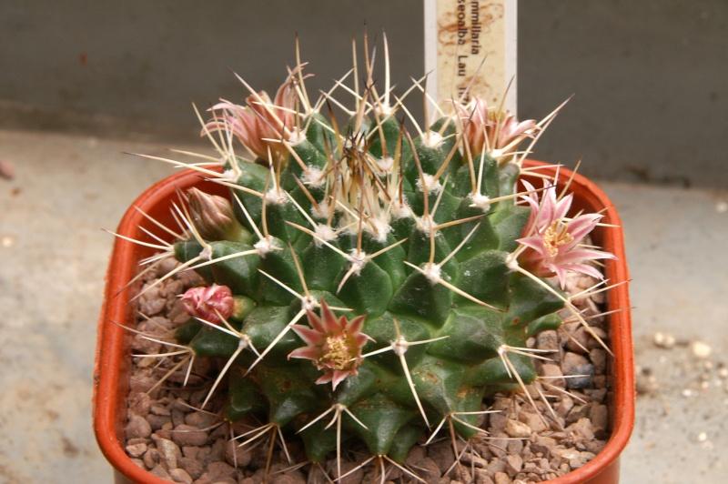 Mammillaria roseoalba Lau1170 - for Maurillio Roseoa10