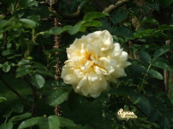 AGNES     Saunder    1900   rugosa arbuste Agnes111